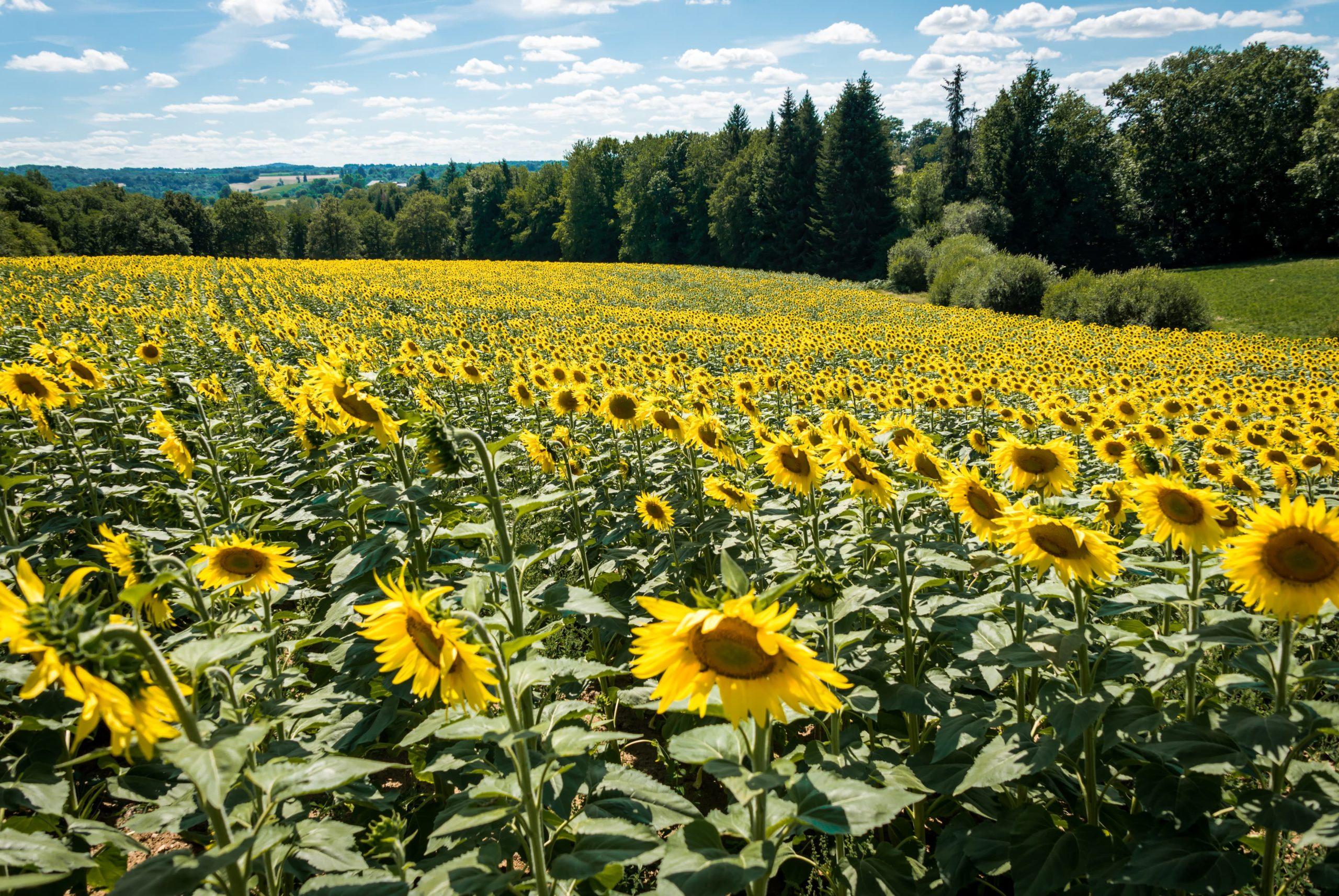 Nos champs de tournesols bio en Limousin, Nouvelle-Aquitaine