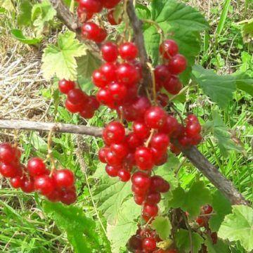Nos 1ers fruits rouges : framboise et groseille bio